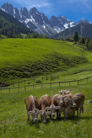 Austria, Kemater Alp, Mountain Pasture, Cows,