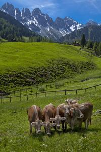 Austria, Kemater Alp, Mountain Pasture, Cows, by Ludwig Mallaun