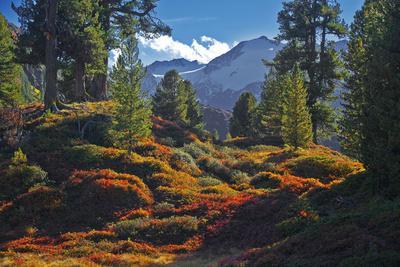 Austria, Ötztal, Swiss Pines Forest in Obergurgl