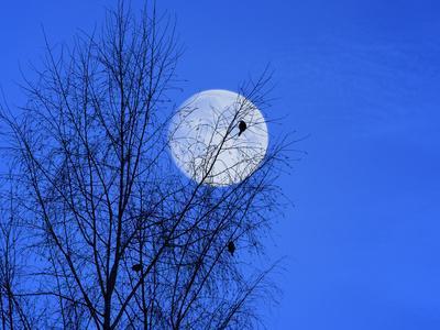Three Blackbirds on Birch, Full Moon Evening