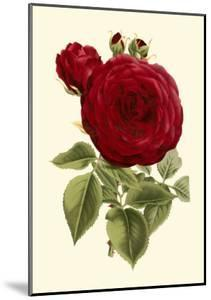 Magnificent Rose I by Ludwig Van Houtte