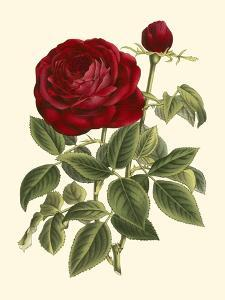 Magnificent Rose IV by Ludwig Van Houtte