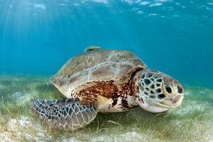 Green Sea Turtle by Luis Javier Sandoval