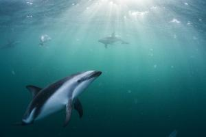Dusky Dolphins Swim in Golfo Nuevo Off the Coast of Valdes Peninsula in Argentine Patagonia by Luis Lamar