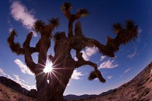 Fisheye Lens View of a Joshua Tree with the Sun Behind It by Luis Lamar