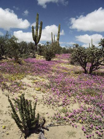 A Desert View with Red Clover Surrounding Various Cacti