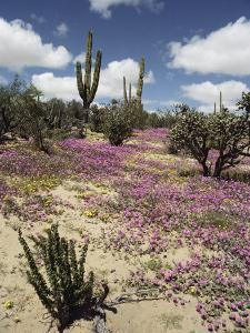 A Desert View with Red Clover Surrounding Various Cacti by Luis Marden