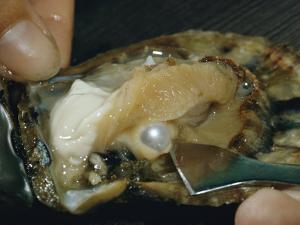 Close-up View of a Pearl Inside an Oyster by Luis Marden