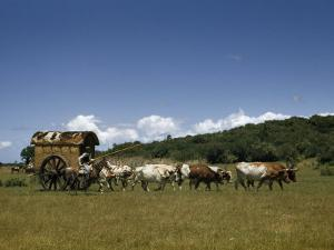 People, Oxen, and Horses Reenact Frontier Scene of Travel by Coach by Luis Marden