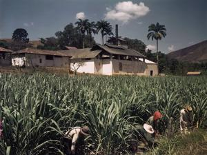 Workers Labor in a Cane Field That Produces Rum and Brown Sugar by Luis Marden