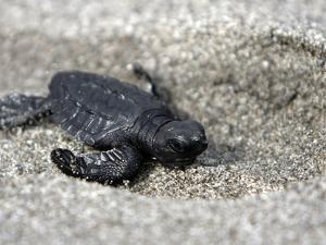 APTOPIX El Salvador Turtles Released by Luis Romero