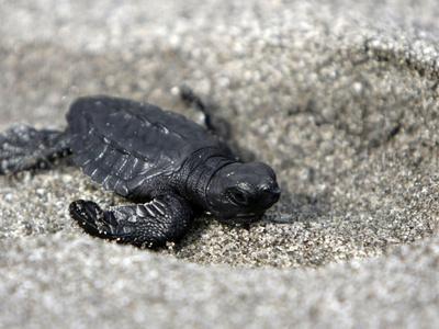 APTOPIX El Salvador Turtles Released