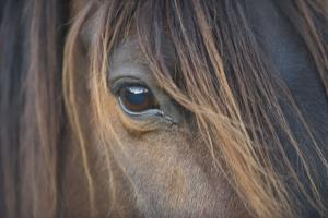 Close-Up of Crioulo Horse Looking at Camera by Luis Veiga