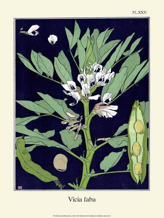 Botanical Print, Broad Bean, 1905
