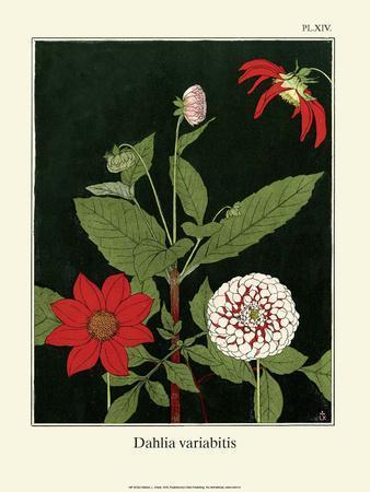 Botanical Print, Dahlias, 1905