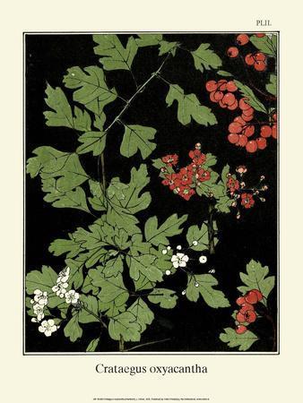 Botanical Print, Hawthorn, 1905