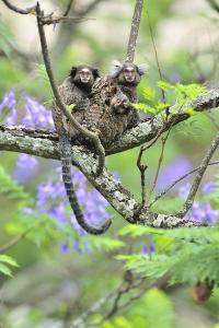 Family of White-Tufted-Ear Marmosets (Callithrix Jacchus) with a Baby by Luiz Claudio Marigo