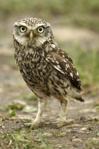 Little Owl (Athene Noctua) on the Ground, Essex, England, UK, June by Luke Massey