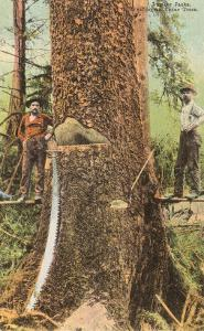 Lumberjacks Felling Cedar, Washington