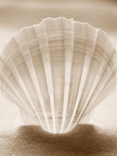 Luminescent Irish Deep Seashell--Photo