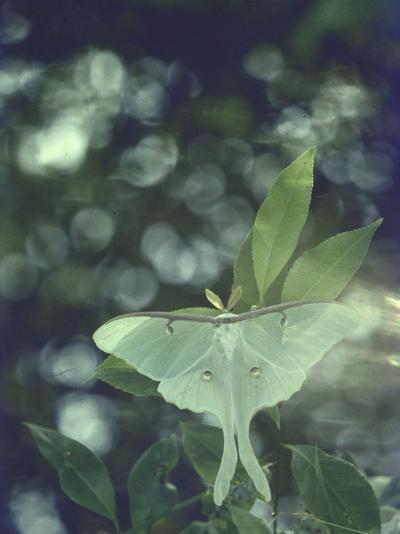 Luna Moth Clings to a Pond Side Chokecherry Tree-Alfred Eisenstaedt-Photographic Print