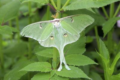 Luna Moth, Marion Co. Il-Richard ans Susan Day-Photographic Print
