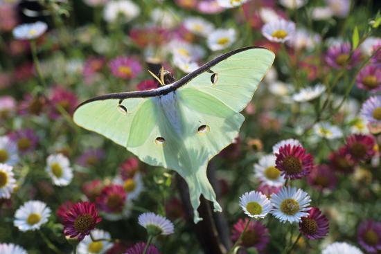 Luna Moth-David Aubrey-Photographic Print