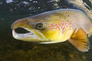 Atlantic Salmon (Salmo Salar) Male, River Orkla, Norway, September 2008 by Lundgren