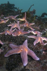 Common Starfish (Asterias Rubens) Group, Saltstraumen, Bodø, Norway, October 2008 by Lundgren