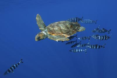 Loggerhead Turtle (Caretta Caretta) with a Shoal of Pilot Fish, Pico, Azores, Portugal, June