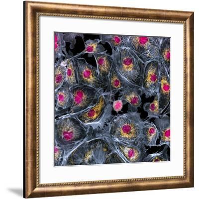 Lung Cells, Fluorescent Micrograph-Dr. Torsten Wittmann-Framed Photographic Print