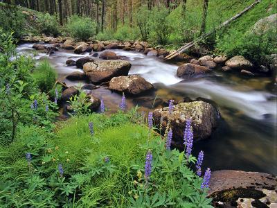 Lupine Along Jacobsen Creek in the Pioneer Range of Montana, USA-Chuck Haney-Photographic Print