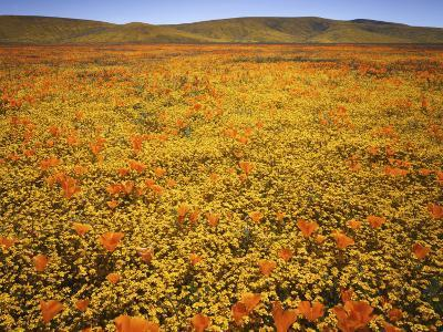 Lupine and California Poppies, Tehachapi Mountains, California, USA-Charles Gurche-Photographic Print