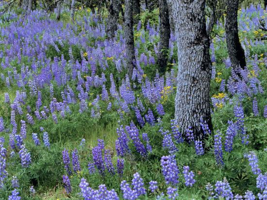 Lupine and White Oak in the Columbia Gorge, Oregon, USA-Chuck Haney-Photographic Print