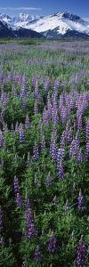 Lupine Flowers in Bloom, Turnagain Arm, Alaska, USA