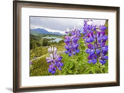 Lupine Flowers Near Lost Lake Seward Alaska Chugach National Forest Southcentral Summer-Design Pics Inc-Framed Photographic Print