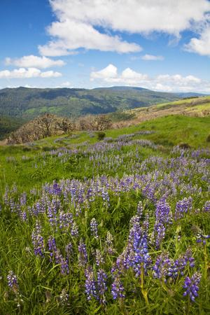 https://imgc.artprintimages.com/img/print/lupine-in-the-bald-hills-of-the-redwoods-national-park_u-l-pu3y050.jpg?p=0