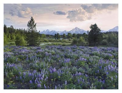 Lupine meadow, Grand Teton National Park, Wyoming-Tim Fitzharris-Art Print