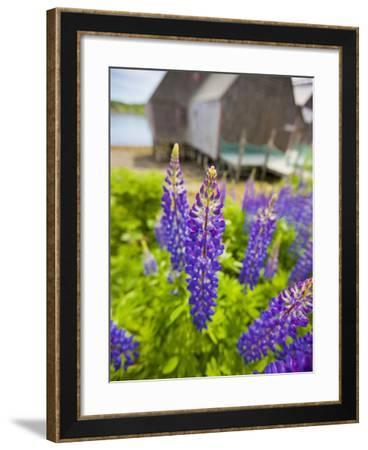 Lupines Bloom in Front of a Historic Fish Cannery in Lubec, Maine, Usa-Jerry & Marcy Monkman-Framed Photographic Print