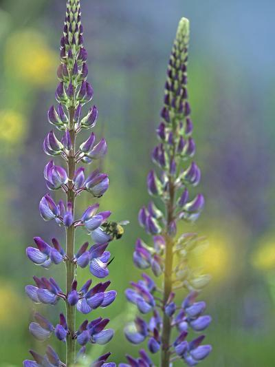 Lupines with a Bumblebee Drinking its Nectar, Canada-Tim Fitzharris-Photographic Print