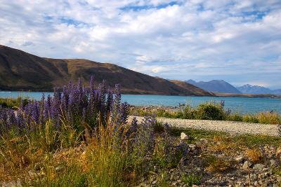 Lupins, Lake Tekapo, South Canterbury, South Island, New Zealand, Pacific-Suzan Moore-Photographic Print