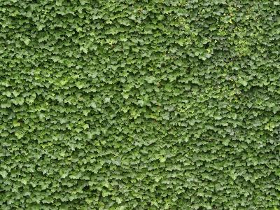 Lush Bright Green Ivy Textured Background--Photographic Print