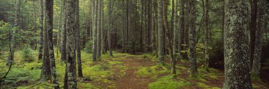 Lush Forest, Acadia National Park, Maine--Photographic Print