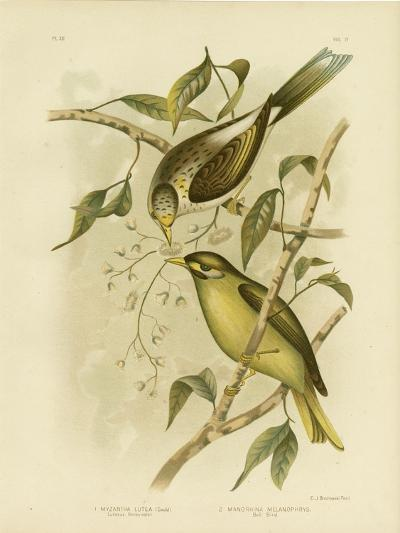 Luteous Honeyeater or Yellow-Throated Miner, 1891-Gracius Broinowski-Giclee Print