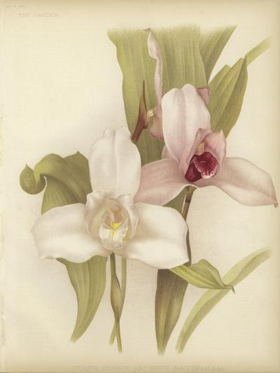 Lycaste Skinneri and White Variety--Giclee Print