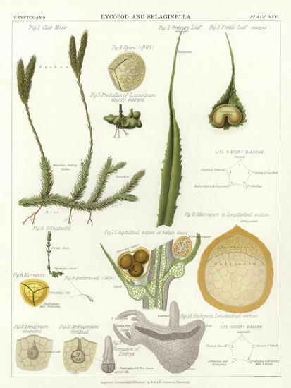 Lycopod and Selaginella--Giclee Print