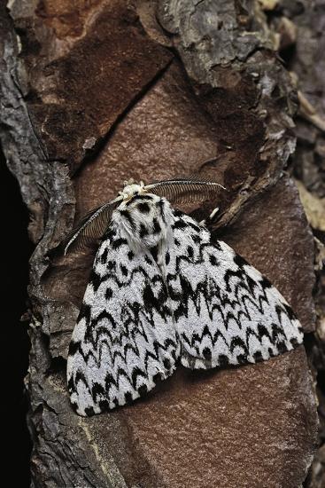 Lymantria Monacha (Black Arches Moth, Nun Moth)-Paul Starosta-Photographic Print