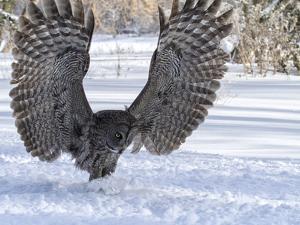 Great Gray Owl by Lynn_B