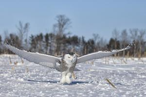 Snowy Owl by Lynn_B