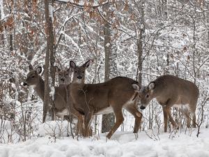 Whitetail Deer by Lynn_B